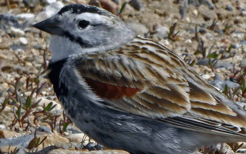 Thick Billed Longspur